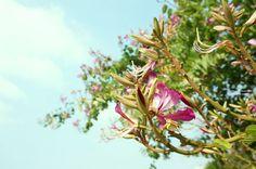 20150116【洋紫荊之冬】  藍天白雲和粉紅花,美麗的週末出遊~