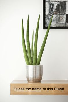 Sansevieria cylindrica, Cylindrical Snake Plant, African Spear or Spear Sansevieria. A succulent plant native to Angola (a country in Africa) Succulents In Containers, Cacti And Succulents, Planting Succulents, Potted Plants, Cactus Plants, Garden Plants, Indoor Plants, Planting Flowers, Sansevieria Cylindrica