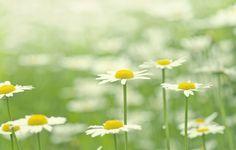 Обои картинки фото цветы, цветок, цветочки, ромашка