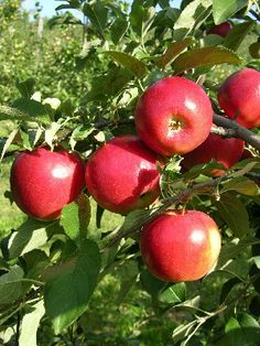 Crimson Crisp:  Rootstock: BUD 9 or M-9 (337)  Bloom: Late Season  Maturity Date: September 10  Keeping Qualities: 7  Resistance to Fire Blight: 4  Resistance to Apple Scab: 9