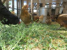 Happy Hens (adding pullets to your existing flock)- Ever Growing Farm