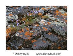 Harebells on lichen-covered rocks by Danny Burk