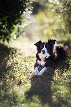 Border Collie Minnie in the sun / / Emmanuel Pigout dogs and puppies Beautiful Dogs, Animals Beautiful, Cute Animals, Border Collie Puppies, Collie Dog, Cute Dogs And Puppies, I Love Dogs, Doggies, Lab Puppies