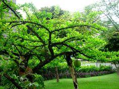 https://flic.kr/p/FeGFS   Plantas de Venezuela: Totumo o Taparo   Cresentia cujete L. Bignoniaceae