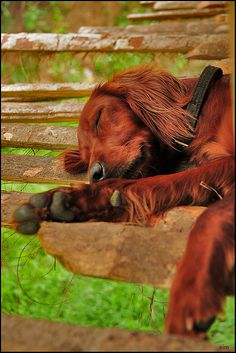 brownie (irish setter) by simmrit, via Flickr