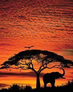 Elephant and acacia tree and white backed vulture, Maasai Mara Game Reserve, Kenya.jpg