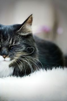 enchantedeccentricity:    amarauderinrye: I love this kitty look how his whisker curls into a heart shape!!!