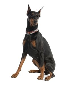 #Doberman Pinschers #dog