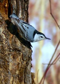 Nuthatches are also ones that I see every single day on my deck. :)