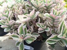 Large Succulent Plant. 'Mike's Fuzzy Wuzzy' by SucculentBeauties