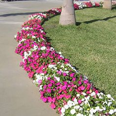 Walk way border....love it!  Impatiens offer great spring & summer color!