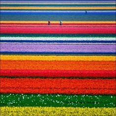At first glance, it looks like a giant child armed with a box of crayons has been set loose upon the landscape. Yet far from being a child's sketchbook, this is, in fact, the northern Netherlands in the middle of tulip season. The Dutch landscape in May is a kaleidoscope of color as the tulips burst into life. The bulbs are planted in late October and early November.   #Netherlands #travel #tulips  http://www.cowboywaytravel.com