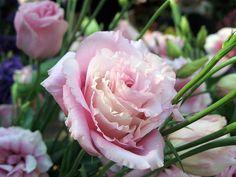 beautifulcataya Eustoma / Lisianthus