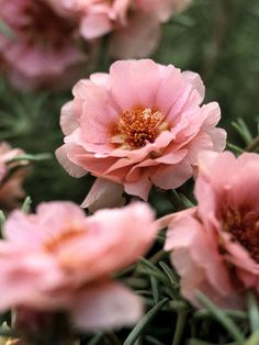 Moss Rose..Moss rose is a perfect little ground cover for hot, dry spots. It forms a mat of needle-like foliage and cup-shape flowers in bright shades of yellow, orange, pink, and white. Moss rose often self-seeds in the garden. I love these dainty flowers hard to kill too!