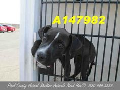 SUPER SUPER URGENT! This DOG - ID#A147982 I am a male, brown brindle Pit Bull Terrier mix. The shelter staff think I am about 4 months old. https://www.facebook.com/photo.php?fbid=415078245261122&set=a.172542969514652.27804.120830141352602&type=3&src=https%3A%2F%2Ffbcdn-sphotos-c-a.akamaihd.net%2Fhphotos-ak-prn2%2F1395182_415078245261122_650031197_n.jpg&size=960%2C720 https://www.facebook.com/media/set/?set=a.172542969514652.27804.120830141352602&type=3