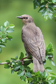 A young starling....Photo by Steve Mackay