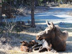 Soldotna -mama moose and twins resting after the birth (Mary Mills) we had a good view out the kitchen window of these newborn twins! notice the hare in the background Date Taken: 05/17/2012 Alaska wildlife photos - ktuu.com