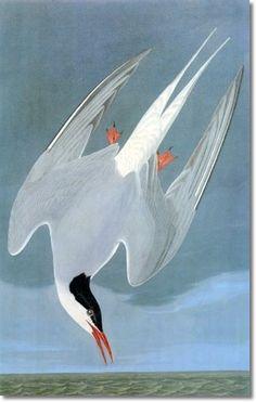 """Arctic Tern"" by John James Audubon"