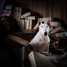 It's a Dog's Job. #dogphotography #urbexbullterrier #clairethebullterrier…