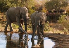 Gentle giants at the watering hole at Umlani Bushcamp in the Timbavati Nature Reserve!