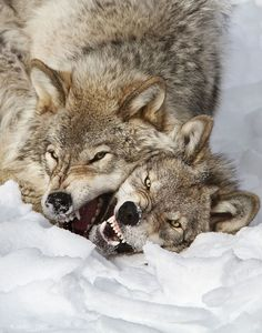 Alpha Male Wolf Fights Off Love