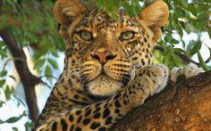 wallpaper images leopard  by Beckett Longman (2017-03-15)