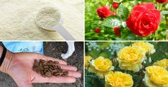 10 DIY Rose Fertilizer amp Remedies Available In Your Kitchen amp You Never Knew They Exist Love growing Roses? Learn about the 10 things available in your kitchen that you can use to have healthy Rose plants! Growing Vegetables In Containers, Growing Herbs Indoors, Growing Poppies, Best Herbs To Grow, Rose Care, Garden Web, Winter Vegetables, Potted Trees, Planting Roses