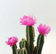 Flowering cacti | The Fifth Watches // Minimal meets classic design: www.thefifthwatches.com