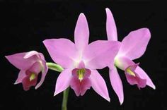 Laelia anceps (Mendenhall 4N AM/AOS x Rustic Canyon) species Orchid Plant