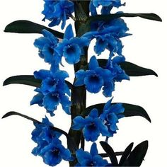 Dendrobium+'Royal+Blue'+Towering+Nobile+Orchid+Premium+Gift+with+Classic+White+Display+Pot