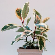 Variegated Rubber Plant 'Variegata' (Ficus elastica) | My Garden Life