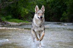 One of these too - domestic czech wolf dog Utonagan Dog, Tamaskan Dog, Wolf Husky, Wolf Dogs, Cute Funny Animals, Cute Dogs, Northern Inuit Dog, Czechoslovakian Wolfdog, Real Dog