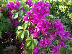 flowers Sicily