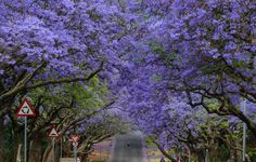 (151201) -- JOHANNESBURG, Dec. 1, 2015 (Xinhua) -- A man walks past Jacaranda trees in Pretoria, South Africa, on Oct. 15, 2014. Jacaranda trees are in full blossom in Pretoria from early October every year, which is popularly known as the Jacaranda City due to more than 80,000 Jacaranda trees planted as street trees and in parks and gardens. At the invitation of South African President Jacob Zuma, Chinese President Xi Jinping will pay a state visit to South Africa from Dec. 2 to 5, and…