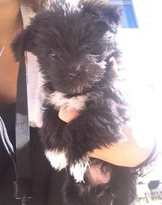Toy Morkie Puppies for sale!
