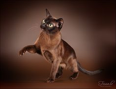 chocolate Siamese cat