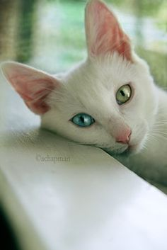 Turkish Van cat ~ one eye blue,one eye green.  The breed is considered a national treasure.  I would agree.