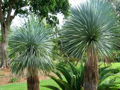 Yucca Tree | ... two yucca trees there are about 50 species of yucca and can be seen as