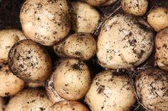 2.5kg bag £4.99 25-30 tubers Buy potato - extra early salad, Scottish basic seed potato potato 'Rocket (PBR)': Delivery by Crocus.co.uk