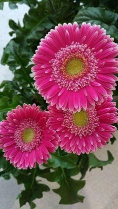 We sell small Cremation Urns that everyone can afford! Flowers Nature, My Flower, Fresh Flowers, Pretty Flowers, Flower Art, Pink Flowers, Gerbera Daisies, Beautiful Roses, Beautiful Gardens