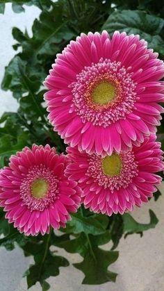Flowers Nature, Pretty Flowers, Fresh Flowers, Pink Flowers, Gerbera Daisies, Beautiful Roses, Beautiful Gardens, Bouquet, Flower Seeds