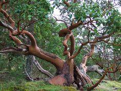 Ancient Arbutus menziesii, Thetis Lake Park, BC, Canada ~ by ngawangchodron, via Flickr