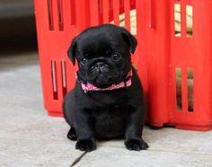 Cute Black Pug Puppy... I'm addicted to pugs I think I have a problem lol