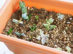 ②分けた子株を乾かさずに別の鉢に植え付けたら完成です!