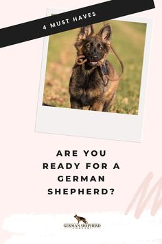 Love the look and qualities of German Shepherds? What you need to know to ensure you and your home are a good fit for a German Shepherd Dog.  🐾 #germanshepherd #gsd #germanshepherddogs #gsdfacts #germanshepherdfacts  #gsdpuppy #babygermanshepherds #sablegermanshepherd #sablegermanshepherds #germanshepherdsable Original German Shepherd, German Shepherd Facts, Sable German Shepherd, German Shepherd Pictures, German Shepherd Puppies, Baby German Shepherds, Gsd Puppies, Dog Training, Pets