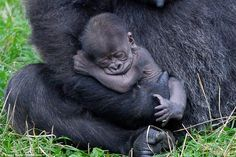 Baby gorilla is cradled by her 16-stone mother after being born in Twycross Zoo | Daily Mail Online