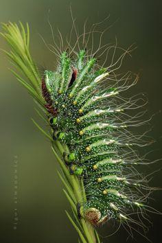 *Caterpillar of Actias dubernardi - Chinese comet moth