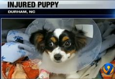 Puppy's heart pierced after a fall onto a knitting needle