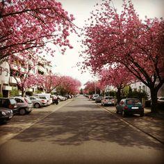 Frühling in Rodenkirchen Nibelungenweg  #fruehling #Fruehling #spring #cherrytree #cherryblossom  #like #follow #cute #photooftheday #followme #beautiful #happy #fun #smile #flowers #flower #petal #petals #nature #beautiful #love #pretty #blossom #sopretty  #flowerstagram #flowersofinstagram #flowerslovers @gaidaphotos http://www.gaidaphotos.com