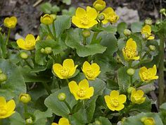 Blatouch bahenní (Caltha palustris) Plants, Image, Lawn And Garden, Plant, Planets